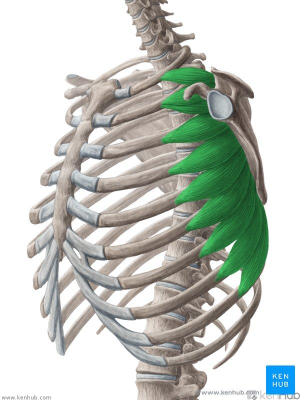 serratus anterior